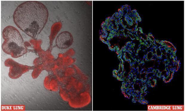 ریه های کوچک مصنوعی برای مطالعه ویروس کرونا ساخته شدند