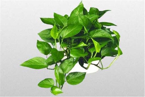 6 گیاه بالا رونده آپارتمانی برای داشتن خانه ای سبز
